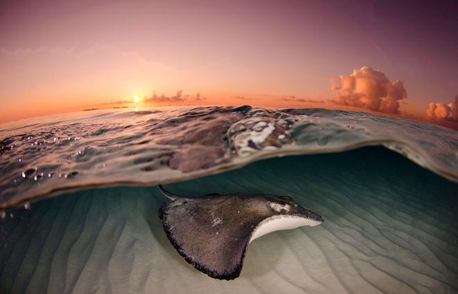 Su song cua dai duong: nhung hinh anh chua duoc cong bo hinh anh 10 Một con cá đuối bơi trong vùng biển Grand Cayman, thuộc quần đảo Cayman lúc mặt trời mọc