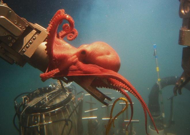 Su song cua dai duong: nhung hinh anh chua duoc cong bo hinh anh 11 Con bạch tuộc có màu sắc tuyệt dệp này có vẻ như rất tò mò trước sự xuất hiện của con người