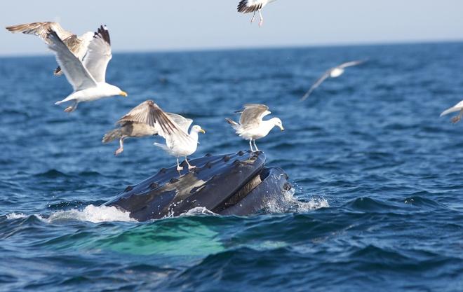 Su song cua dai duong: nhung hinh anh chua duoc cong bo hinh anh 12 Những con hải âu đậu trên miệng một con cá voi lưng gù