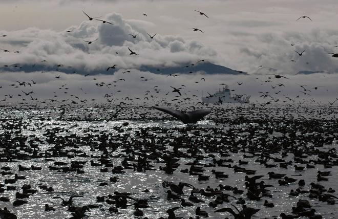 Su song cua dai duong: nhung hinh anh chua duoc cong bo hinh anh 17 Một con cá voi lưng gù giữa hàng ngàn con cim biển tạo nên một cảnh trượng hùng vĩ trên vùng biển ngoài khơi Unalaska, Alaska