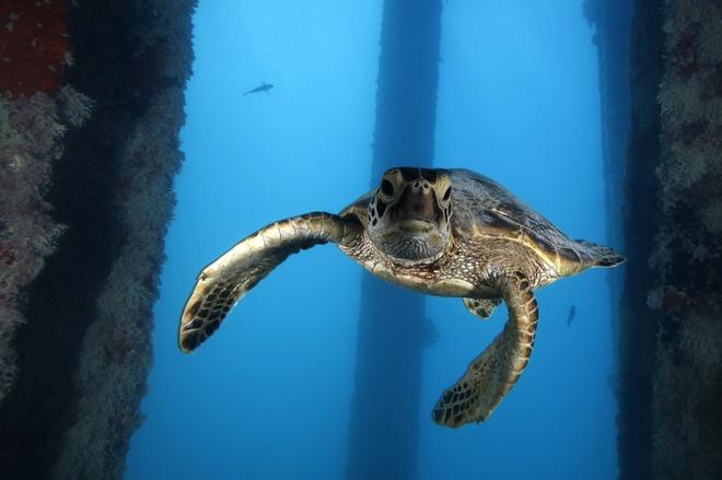 Su song cua dai duong: nhung hinh anh chua duoc cong bo hinh anh 2 Rùa biển xanh tại khu bảo tồn biển Papahanaumokuakea, đảo Midway, phía Bắc Thái Bình Dương