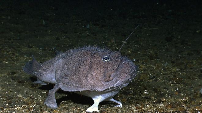 Su song cua dai duong: nhung hinh anh chua duoc cong bo hinh anh 3 Một con cá goosefish, loài cá có thể 'đi bộ' bằng vây, dưới đáy biển ngoài khơi Indonesia