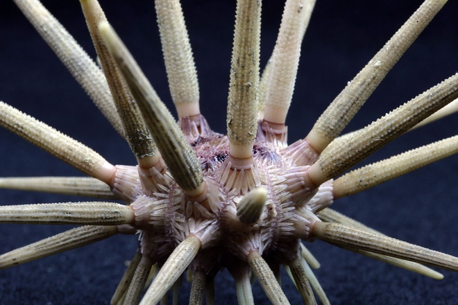 Su song cua dai duong: nhung hinh anh chua duoc cong bo hinh anh 9 Cidaris, một loài nhím biển thường được gọi là nhím bút chì. Loài nhóm này là thành viên của gia đình san hô