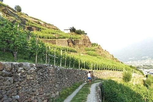 Ruộng nho bậc thang trên núi Alps