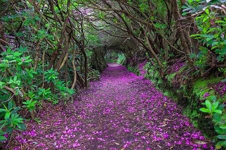 """Nhung cung duong dep nhu tranh ve hinh anh 2 """"Con đường đỗ quyên"""" trong công viên Reenagross, thị trấn Kenmare, Ireland."""
