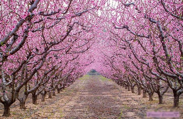 Nhung cung duong dep nhu tranh ve hinh anh 9   Những con đường hoa anh đào rực rỡ là đặc trưng của nước Nhật vào tầm tháng 3-4 hằng năm.