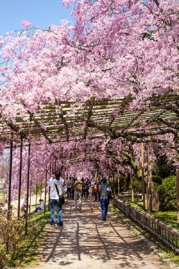 Nhung cung duong dep nhu tranh ve hinh anh 12  Con đường hoa anh đào bồng bềnh như mây ở Kyoto, Nhật Bản.