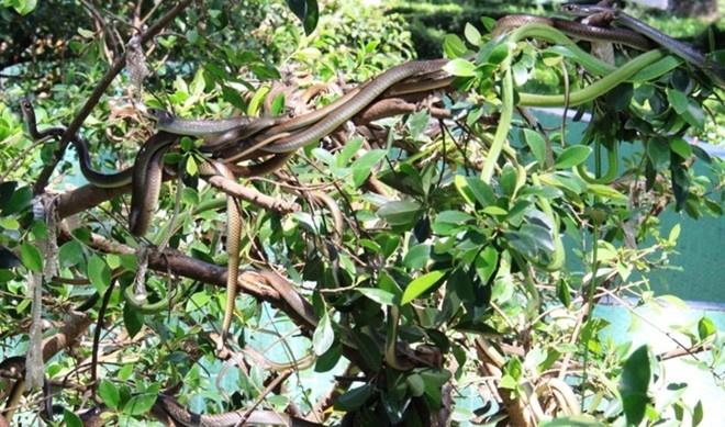 5 diem du ngoan thu vi khi den Tien Giang hinh anh 2 Trại rắn Đồng Tâm là nơi nuôi rắn lớn nhất trong cả nước. Ảnh: Hữu Danh / Báo Lao Động.