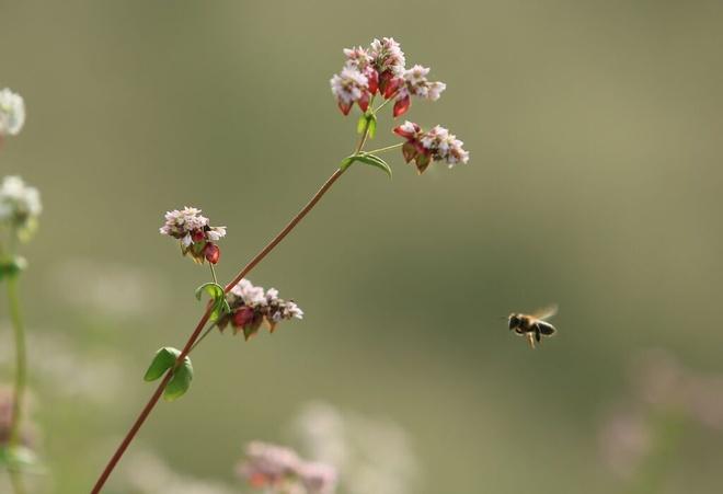 Những ngày cuối tháng 9, niềm tin vào loài hoa này sẽ nở ở Mộc châu đã thành công. Từng lớp, từng lớp ruộng bậc thang đã nở hoa khoe sắc kéo du khách nườm nượp tới đây.