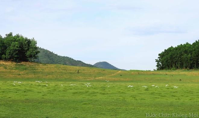 Ho nuoc can nhu 'thao nguyen Mong Co' o Da Nang hinh anh 2 Đàn cò trắng tung cánh bay đi tìm chỗ kiếm ăn mới trên những đồi cỏ xanh bạt ngàn.