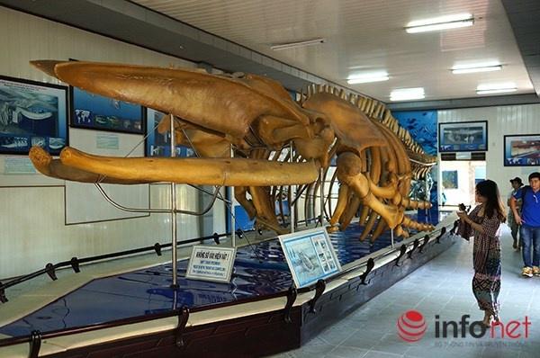 Vien Hai duong hoc Nha Trang niu chan khach du lich hinh anh 12 Bộ xương cá voi lưng gù do nhân dân xã Hải Cường (Hải Hậu, tỉnh Nam Hà) khai quật vào ngày 08/12/1994 trong khi đào mương làm thuỷ lợi. Bộ xương bì vùi sâu dưới ruộng khoảng 1,2m và cách biển 4km. Chiều dài bộ xương là 18m với trọng lượng khoảng 10 tấn.