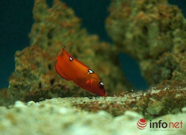 Vien Hai duong hoc Nha Trang niu chan khach du lich hinh anh 8 Cá mó đèn - màu sắc thay đổi theo từng giai đoạn, chúng thường vùi mình trong cát khi ngủ hoặc khi gặp nguy hiểm.