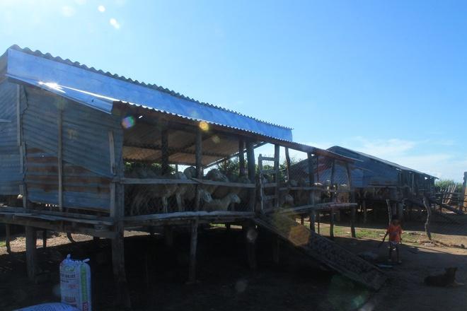 Canh dong cuu dep me hon o Ninh Thuan hinh anh 2 Du khách có thể đến trang trại cừu sớm từ 6-7h để có thể thưởng thức những bữa cơm sáng cùng với dân địa phương, sau đó chuẩn bị lùa cừu ra đồng chăn tầm 8-10h. Chuồng cừu thường được xây trên cao như nhà sàn để giữ cho cừu luôn khô ráo, tránh ẩm ướt bị bệnh và để thuận tiện cho việc làm vệ sinh chuồng trại.