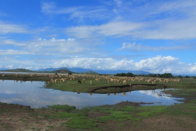 Canh dong cuu dep me hon o Ninh Thuan hinh anh 5 Cừu ở Phan Rang đã xuất hiện hơn 100 năm, tập trung chủ yếu ở các huyện Thuận Bắc, Thuận Nam, Ninh Phước, Ninh Hải,…Chúng thường được người dân lùa ra đồng ăn cỏ, cây bụi,…từ sáng 9-11h và chiều 14-17h. Buổi chiều khi về trại, chúng còn được những người chăn cho ăn thêm cỏ trồng để đủ dinh dưỡng.