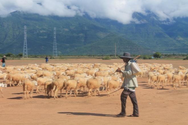 """Canh dong cuu dep me hon o Ninh Thuan hinh anh 7 Những người chăn cừu ở đây đa phần là dân tộc Chăm, chăn thuê cho các ông chủ lớn, giàu có. Người chủ bỏ vốn ra mua cừu, còn những người này đảm nhận công việc chăn nuôi cừu hàng ngày cho lớn. Họ sẽ """"ăn chia"""" lãi tỷ lệ theo 7:3 hoặc 6:4 khi đàn cừu lớn và bán đi."""