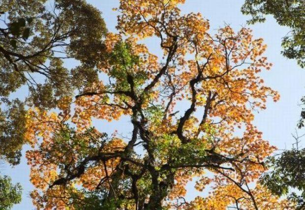 Ngam la phong Da Lat ruc ro chom dong hinh anh 5 Những hàng cây cổ thụ đang vươn mình đón mùa đông ấm áp, những tán lá cây đang chuyển mình thay lá. Một mùa thu Đà Lạt đang hiện ra trước mắt, đã là xao xuyến bước chân dân ưa du lịch bụi đến khám phá.