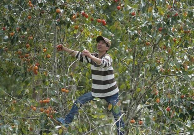 Ngam la phong Da Lat ruc ro chom dong hinh anh 7 Không những bạn được ngắm lá phong đang mùa thay sắc lá, mà còn tham gia được các hoạt động nông trại như hái hồng, đào khoai lang, hái dâu,… Bạn chắc chắn sẽ rất thích thú khi được hái hồng chín tận vườn.