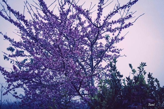 Dao hoa anh dao hang nghin cay o Dien Bien hinh anh 1