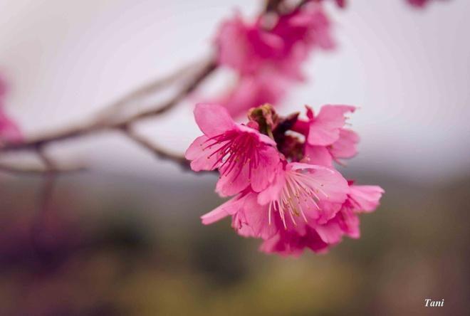 Dao hoa anh dao hang nghin cay o Dien Bien hinh anh 4