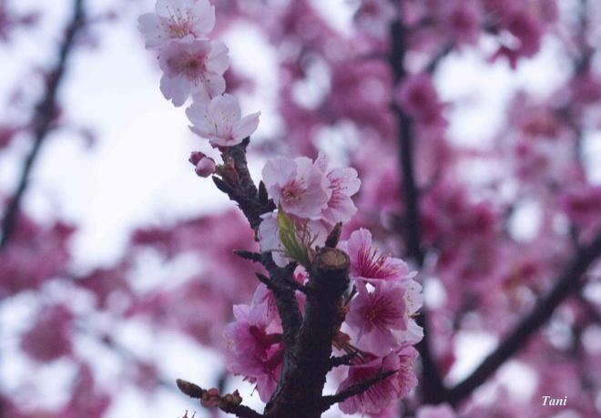 Dao hoa anh dao hang nghin cay o Dien Bien hinh anh 5