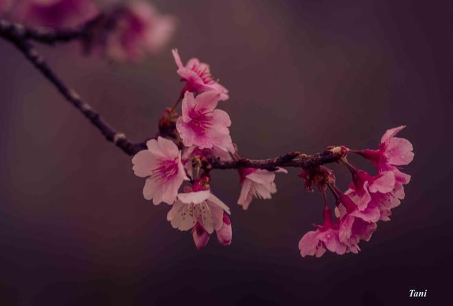 Dao hoa anh dao hang nghin cay o Dien Bien hinh anh 6