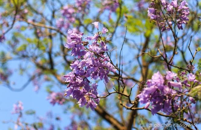 Nhung loai hoa khoe sac don xuan o Da Lat hinh anh 9