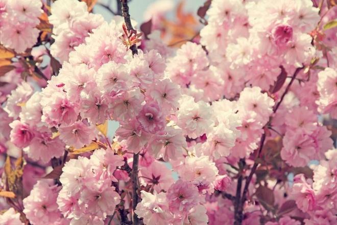 Den Han Quoc dip hoa anh dao no hinh anh 1