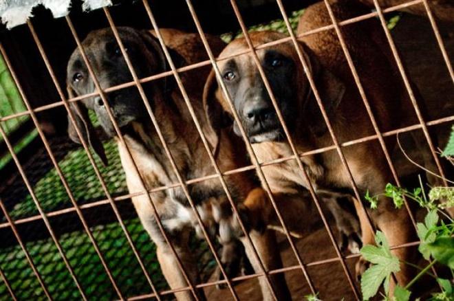Nhung nuoc an thit cho, meo tren the gioi hinh anh 7 Thụy Sỹ: Thịt chó mèo là món ăn phổ biến của vùng nông thôn nước này, chủ yếu dung làm xúc xích hoặc sấy khô. Giống chó được ưa thích ở đây là Rottweiler, có vị giống như thịt bò, phổ biến ở các vùng như Appenzell, St. Gallen, và Rhine Valley. Mỡ chó còn được sử dụng làm thuốc. Tuy nhiên, luật pháp Thụy Sỹ cấm ăn thịt chó mèo.