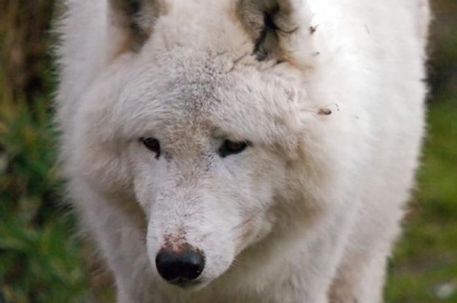 Nhung nuoc an thit cho, meo tren the gioi hinh anh 9 Bắc cực: Chó chủ yếu được dùng để kéo xe ở Bắc cực, tuy nhiên, trong những hoàn cảnh khắc nghiệt, người ta vẫn phải biến chúng thành những nồi soup. Trong lịch sử, chó từng được sử dụng như một loại thực phẩm lúc khẩn cấp ở Siberia, Alaska, phía bắc Canada và Greenland trong nhiều thế kỷ.