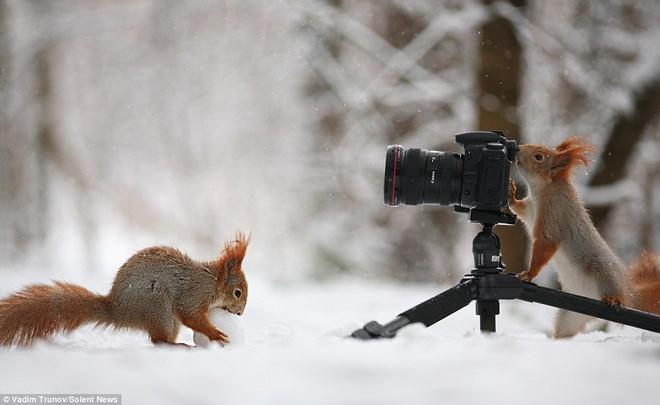 """Soc choi tro nguoi mau - tho anh voi bong tuyet hinh anh 4 Vadim tiết lộ: """"Lúc đó tôi đang chụp ảnh trong khu rừng gần thị trấn, lũ sóc chẳng hề sợ người mà ngược lại rất gần gũi với con người. Tôi cho chúng hạt, chúng khoái chí mang đi giấu trong đống tuyết, rồi lại lấy hạt và giấu tiếp. Sóc rất thích giấu hạt rồi đi tìm để ăn lúc đói. Tôi nghĩ ra cách làm một quả cầu tuyết có hạt bên trong, rồi đặt xuống đất. Một chú sóc chạy lại nhặt quả cầu tuyết lên, có lẽ cu cậu biết ở trong có hạt."""""""