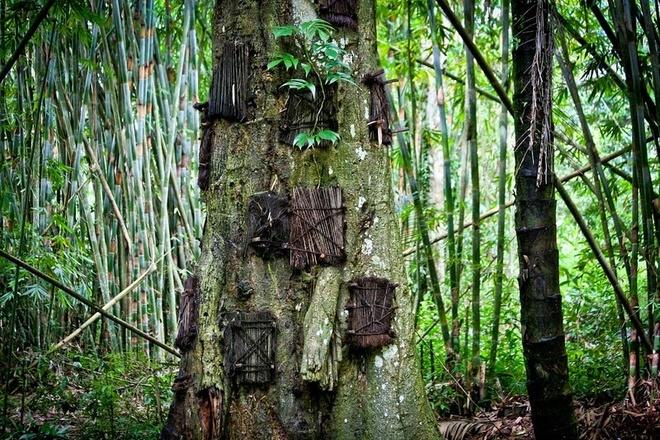 Theo thời gian, cây lớn lên, lỗ hổng liền miệng và người ta tin rằng đứa trẻ đã được cây hấp thụ. Một cái cây có thể được dùng để chôn hàng chục em bé.