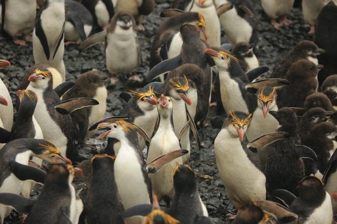 Nhung hon dao chi co loai vat sinh song hinh anh 10 Đảo chim cánh cụt (Australia): Đảo Macquarie phía tây nam Thái Bình Dương, giữa New Zealand và Nam Cực là vương quốc của những chú cánh cụt dễ thương. Đảo được UNESCO công nhận là di sản thế giới vào năm 1997. Điểm ngắm cánh cụt đẹp nhất là vịnh Lusitania, bờ biển phía đông hòn đảo. Một trong những loài cánh cụt đẹp nhất là Rockhopper với chùm long vàng trên đầu, cổ ngắn, lông dày, đuôi ngắn hình chữ V và cứng.
