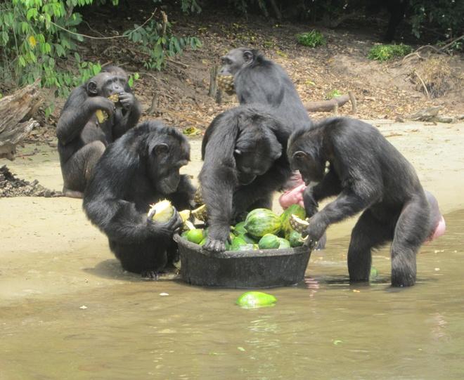 Nhung hon dao chi co loai vat sinh song hinh anh 2 Đảo khỉ (Liberia): Hòn đảo ở Monrovia, phía tây châu Phi này được biết đến với hơn 60 con tinh tinh chiếm hữu. Những chú tinh tinh này từng là khỉ dùng làm thí nghiệm của Viện nghiên cứu công nghệ nano y sinh Liberia trong việc chế ra các loại thuốc như thuốc trị viêm gan những năm 1970. Vì thế, tất cả các loài khỉ ở đây đều đã bị nhiễm bệnh. Du khách khó có thể đến thăm đảo khỉ này, do đảo chỉ cho phép những người chăm sóc khỉ ghé qua.