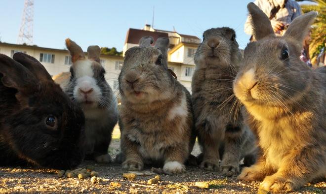 """Nhung hon dao chi co loai vat sinh song hinh anh 4 Đảo thỏ (Nhật Bản): Okunoshima là hòn đảo nhỏ từng là nơi đặt nhà máy khí ga độc quan trọng trong Thế chiến 2. Sau khi chiến tranh kết thúc, lũ thỏ khỏe mạnh được thả, còn những con thỏ dùng trong thí nghiệm vũ khí hóa học bị giết bỏ khi nhà máy bị phá hủy. Những con thỏ được thả sinh sôi phát triển ngày một nhiều khiến hòn đảo giờ được biết đến với cái tên """"đảo thỏ""""."""