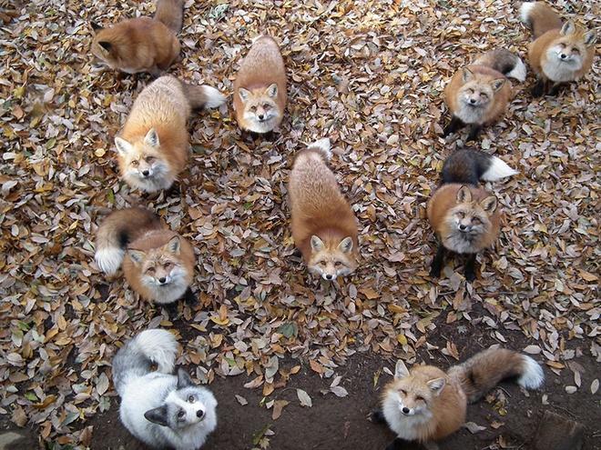 Nhung hon dao chi co loai vat sinh song hinh anh 6 Đảo cáo (Nhật Bản): Ngôi làng có tên làng cáo Zao ở Miyagi là quê hương của 6 loài cáo với tổng cộng hơn 100 con. Du khách đến đây có cơ hội ôm ấp, vuốt ve và cho những chú cáo đã được thuần dưỡng ăn. Những chú cáo tự do đi lại trong làng. Ở Nhật Bản, cáo được coi là  sức mạnh bí ẩn và là sứ giả của Inari Okami, vị thần trong đạo Shinto tượng trưng cho sự sinh sôi, giàu có và lúa gạo.