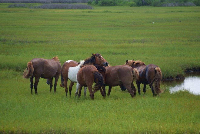 Nhung hon dao chi co loai vat sinh song hinh anh 7 Đảo ngựa (Mỹ): Loài ngựa hoang dã có tên Assateague là cư dân hòn đảo dài 60 km nằm ở bờ biển phía tây Delmarva, bang Maryland, Mỹ. Hòn đảo không người sinh sống. Chuyện kể rằng những con ngựa tồn tại và sinh sôi trên đảo từ một vụ đắm tàu Tây Ban Nha. Ở Virginia, loài ngựa này được gọi là Chincoteague.
