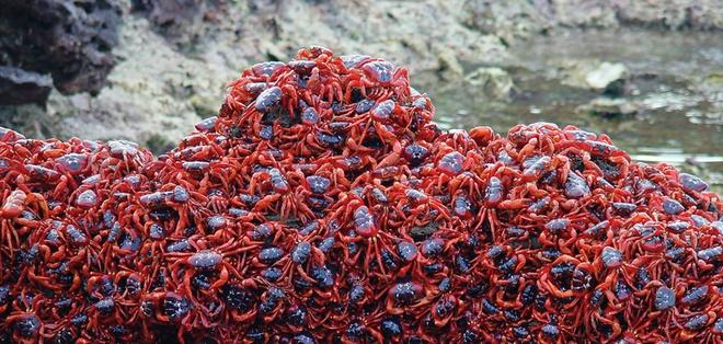 Nhung hon dao chi co loai vat sinh song hinh anh 8 Đảo cua Giáng sinh (Australia): Đây là vương quốc của 40 – 50 triệu loài cua đỏ, phủ kín mặt đất và các ghềnh đá. Thời điểm đẹp nhất ở đây là đầu mùa mưa, từ tháng 10 – 11 khi loài cua đỏ di cư trong 18 ngày xuống biển Ấn Độ Dương để đẻ trứng. Trên đảo có 13 loài cua tất cả.