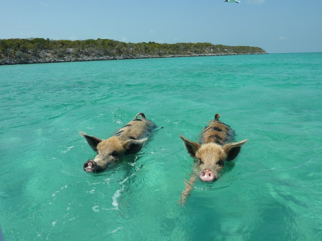 Nhung hon dao chi co loai vat sinh song hinh anh 9 Đảo heo (Bahamas): Hòn đảo Big Major Ccay ở Exuman, Bahamas không có người ở, chỉ có những chú heo hoang dã tung tăng bơi lội. Người ta cho rằng những chú heo này do thủy thủ để lại làm bữa tối, nhưng họ đã không quay lại. Một số người khẳng định, chúng bơi từ một hòn đảo khác đến. Số khác nói rằng, chúng sống sót từ một vụ đắm tàu hoặc đây là một kế hoạch của ngành du lịch. Những chú heo trên hòn đảo học cách sinh tồn và phát triển thành đàn. Chúng thường bơi ngang qua những con tàu để tìm kiếm thức ăn hay xin thức ăn từ những chiếc thuyền du lịch.