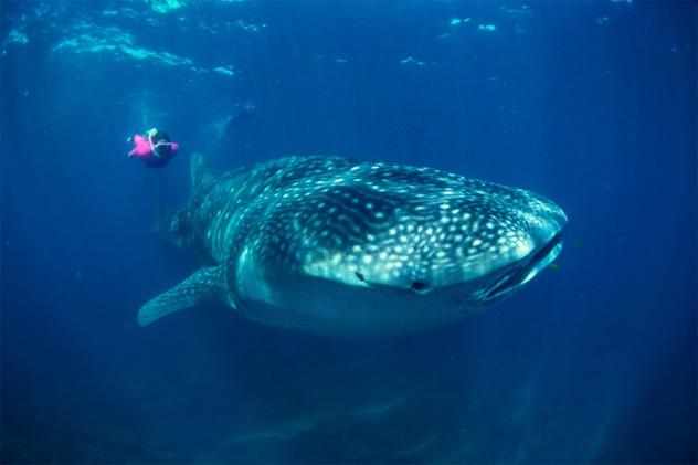 Nhung dieu thu vi ve Maldives hinh anh 7 Sinh vật biển phong phú: Mỗi tour xem cá voi ở Mỹ có thể kéo dài 8 giờ đồng hồ mà chỉ xem được một hoặc hai con cá voi, còn ở Maldives, du khách có thể xem bất kỳ đâu với số lượng từ 1.500 – 2.500 cá voi và cá heo. Vào bất kỳ thời điểm nào trong năm, có khoảng 10 – 12 loài cá voi và cá heo sống quanh các rặng san hô ở Maldives. Nơi đây cũng là quê hương của loài cá lớn nhất thế giới – cá mập voi, dài từ 5,5 – 10 m.