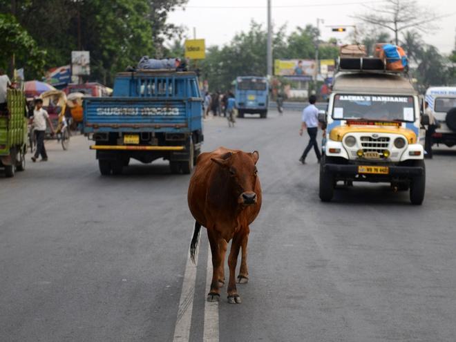 Trong truyền thuyết, chúng là những sinh vật đã nuôi dưỡng người dân Ấn thuở sơ khai. Vì vậy, ăn thịt bò là một điều cấm kỵ và những con bò cái có thể nhởn nhơ đi lại, nghỉ ngơi ở bất cứ đâu, thậm chí là ngay giữa đường phố. Ảnh: independent
