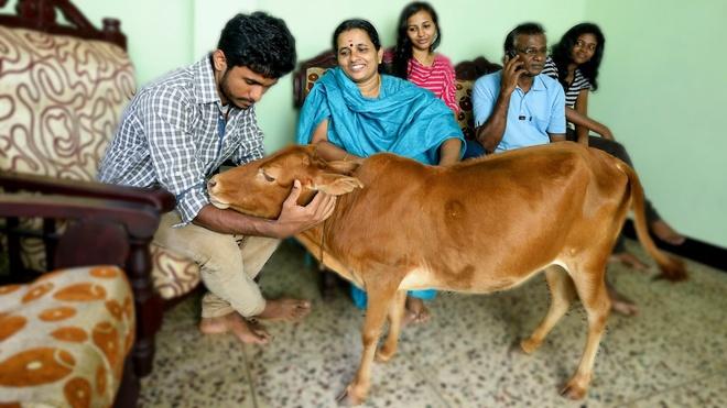 Một điều đặc biệt là, do đa phần người dân theo Hindu giáo nên tại Ấn Độ bò cái là loài vật linh thiêng cần được tôn trọng. Ảnh: ytimg