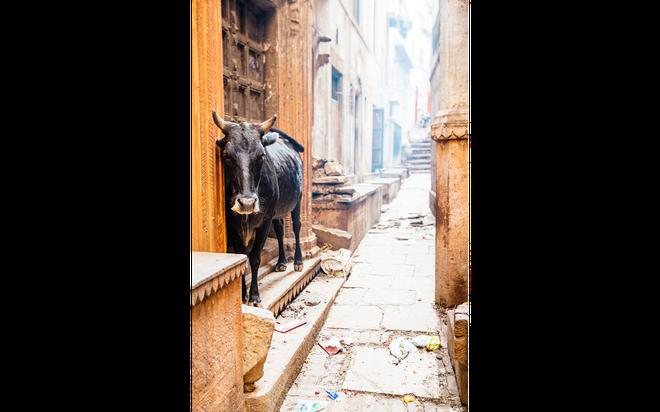 Thanh pho duoc menh danh la duong len coi niet ban hinh anh 8 Trong khi đó, những con bò đứng ì ạch trên những bậc thang dẫn tới Varanasi, dưới đất đầy phân, rác rưởi và thức ăn.