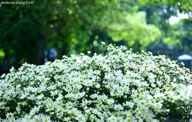 Cuc hoa mi ve tren pho Ha Noi hinh anh