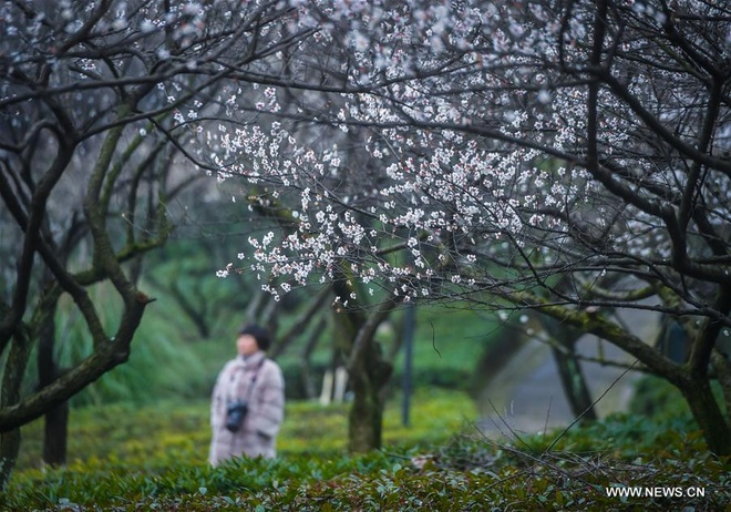 Rung hoa man trang no ro o Hang Chau hinh anh 8