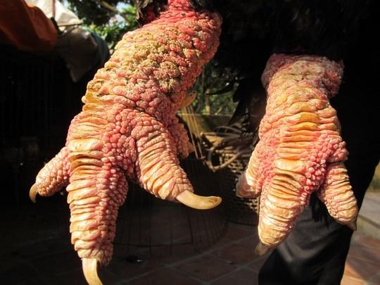 """Cap 'chan rong' ga Dong Tao gia 1 cay vang SJC hinh anh 2 Gà Đông Tảo không giống bất cứ giống gà nào trong cả nước cả về hình dáng, đặc biệt đôi chân to rất """"khủng"""" của gà trống mà thực khách hay gọi là """"chân rồng"""". Giá gà thịt bán buôn ngay tại Đông Tảo trung bình khoảng 300-400 ngàn đồng/kg. Tuy nhiên, để sở hữu những con gà to, dáng đẹp, khách phải bỏ ra cả cây vàng SJC mới mua được."""