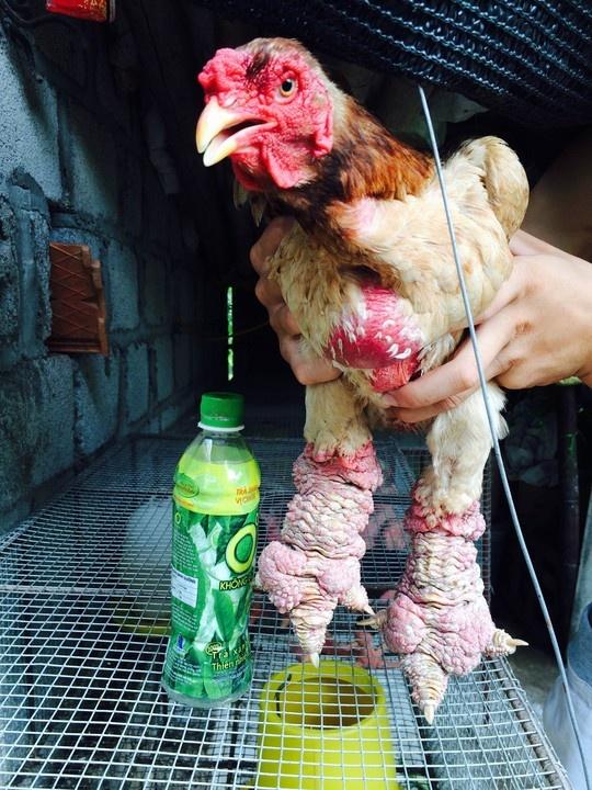Cap 'chan rong' ga Dong Tao gia 1 cay vang SJC hinh anh 5 Một chú gà trống Đông Tảo trưởng thành nặng gần 6 kg, thậm chí còn có thể nặng hơn 7 kg