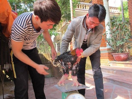Cap 'chan rong' ga Dong Tao gia 1 cay vang SJC hinh anh 9 Cụ Lê Kế Kết ở xóm Cao Nền, thôn Đông Tảo Đông bên con gà Đông Tảo thuần chủng