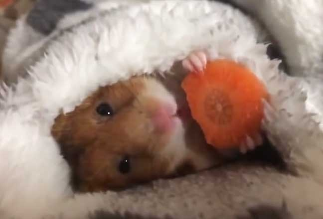 Hamster dap chan an ca rot hinh anh