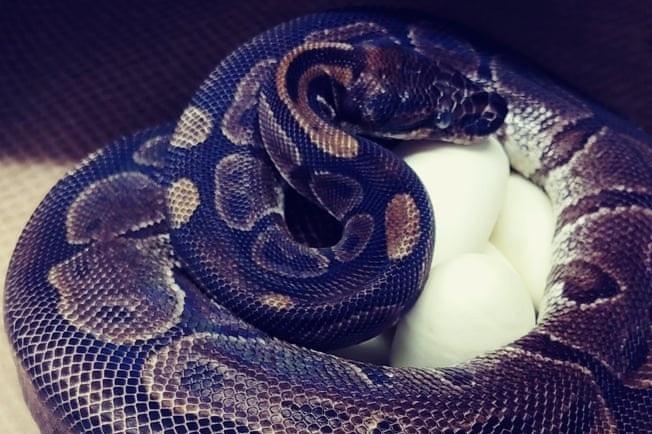 Vườn thú St Louis công bố hình ảnh con trăn bóng 62 tuổi cuộn tròn ấp trứng trong chuồng. Ảnh: AP.