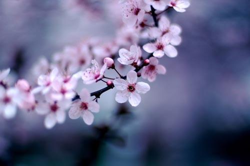 Nhat Ban tang 100 cay hoa Anh Dao cho Da Nang hinh anh